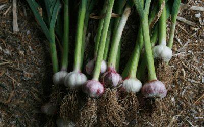 Boutique-Garlic