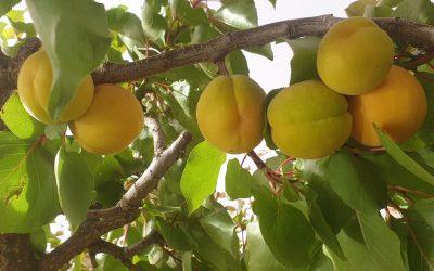 Lindfield Park fruit facebook