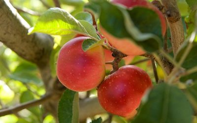 borrodell - apples