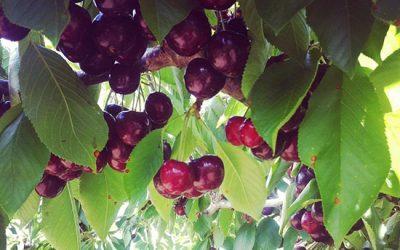 borrodell - cherry