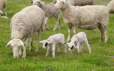 tablelands sheep website